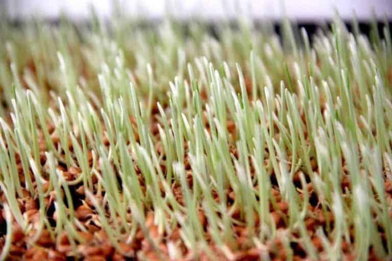 Weizengras anbauen keimen Wachstumsphase auf kokoserde tag 6 katawan