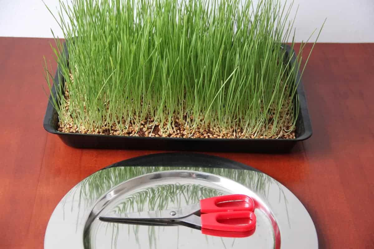 Weizengras anbauen Ernte Schere Teller brauner Untergrund katawan