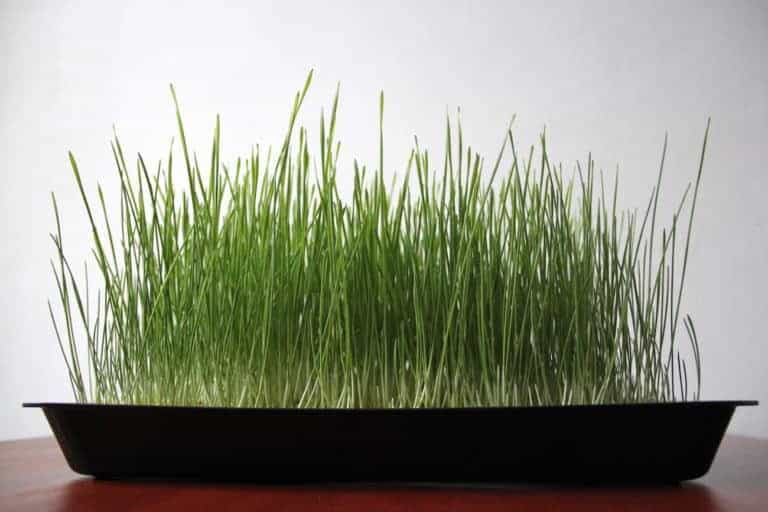 Weizengras anbauen keimen Wachstumsphase auf kokoserde tag 10 katawan