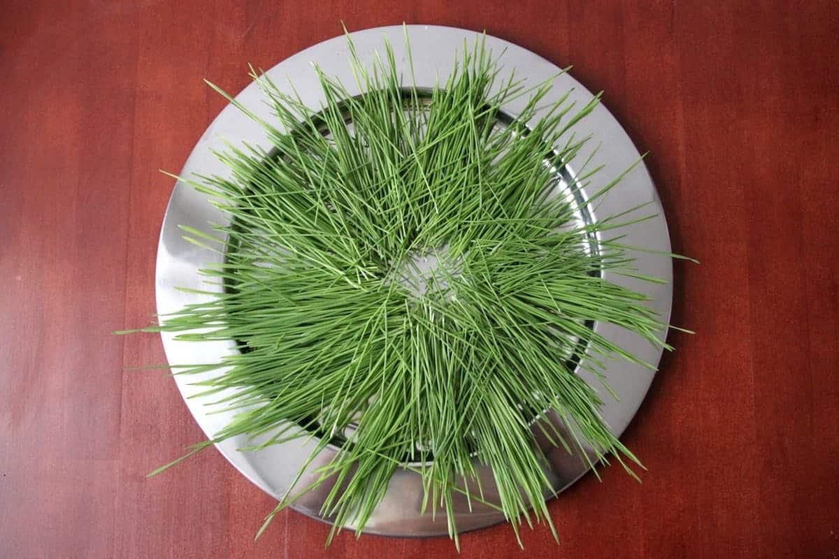 Weizengras ernten mit Schere aufgelegt silberner Teller