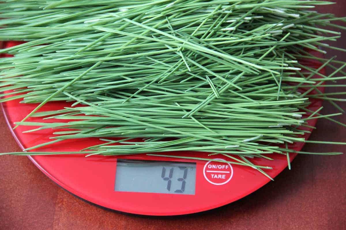 weizengras 45 gramm ausbeute anbauen selbst katawan