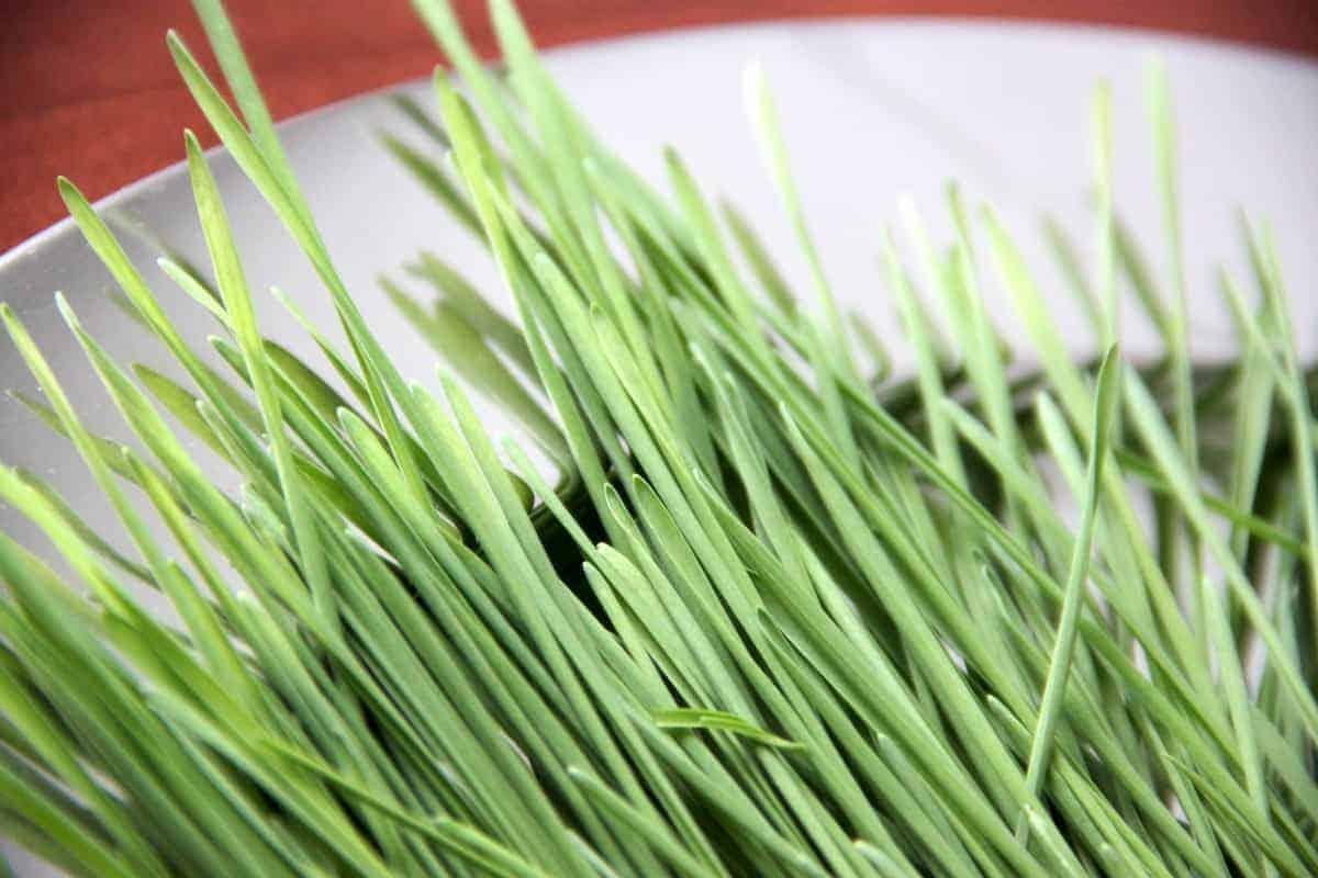 Weizengras am Teller