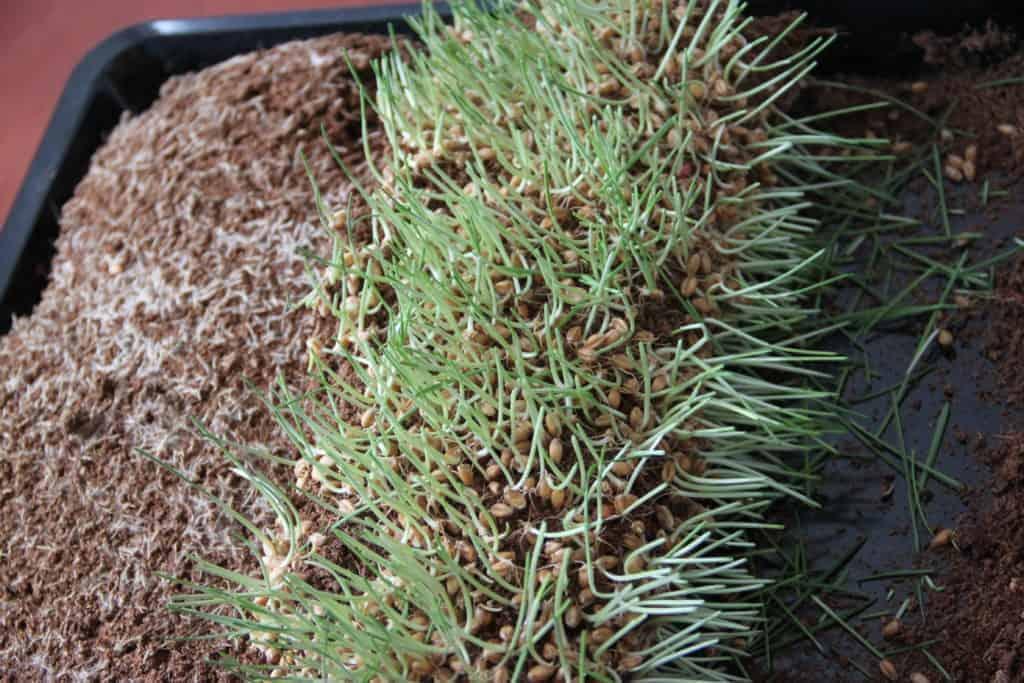 weizengras wurzeln anbauen erde kokoserde nach der ernte katawan