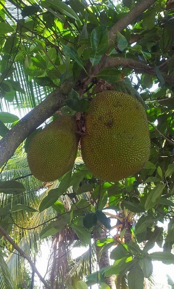 Jackfruit Jackfrucht auf Baum