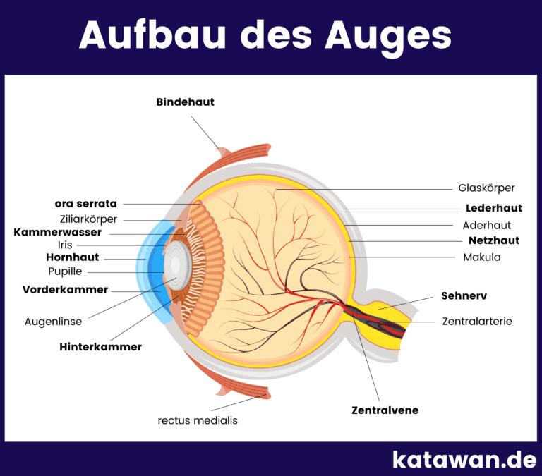 Aufbau des Auges als Grafik