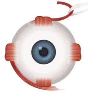 Augenmuskeln Frontansicht