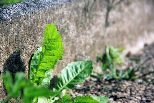 Heilkraut Loewenzahn katawan heilpflanze