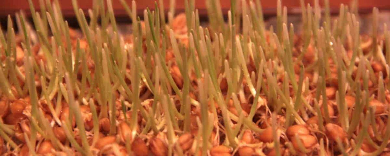Weizengras anbauen Keimlinge wenige Tage gruen koerner katawan